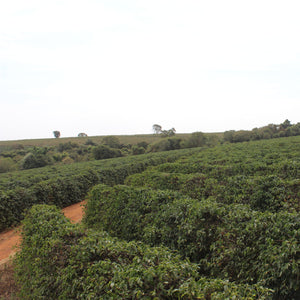 rows of coffee trees on a coffee plantation in Brazil