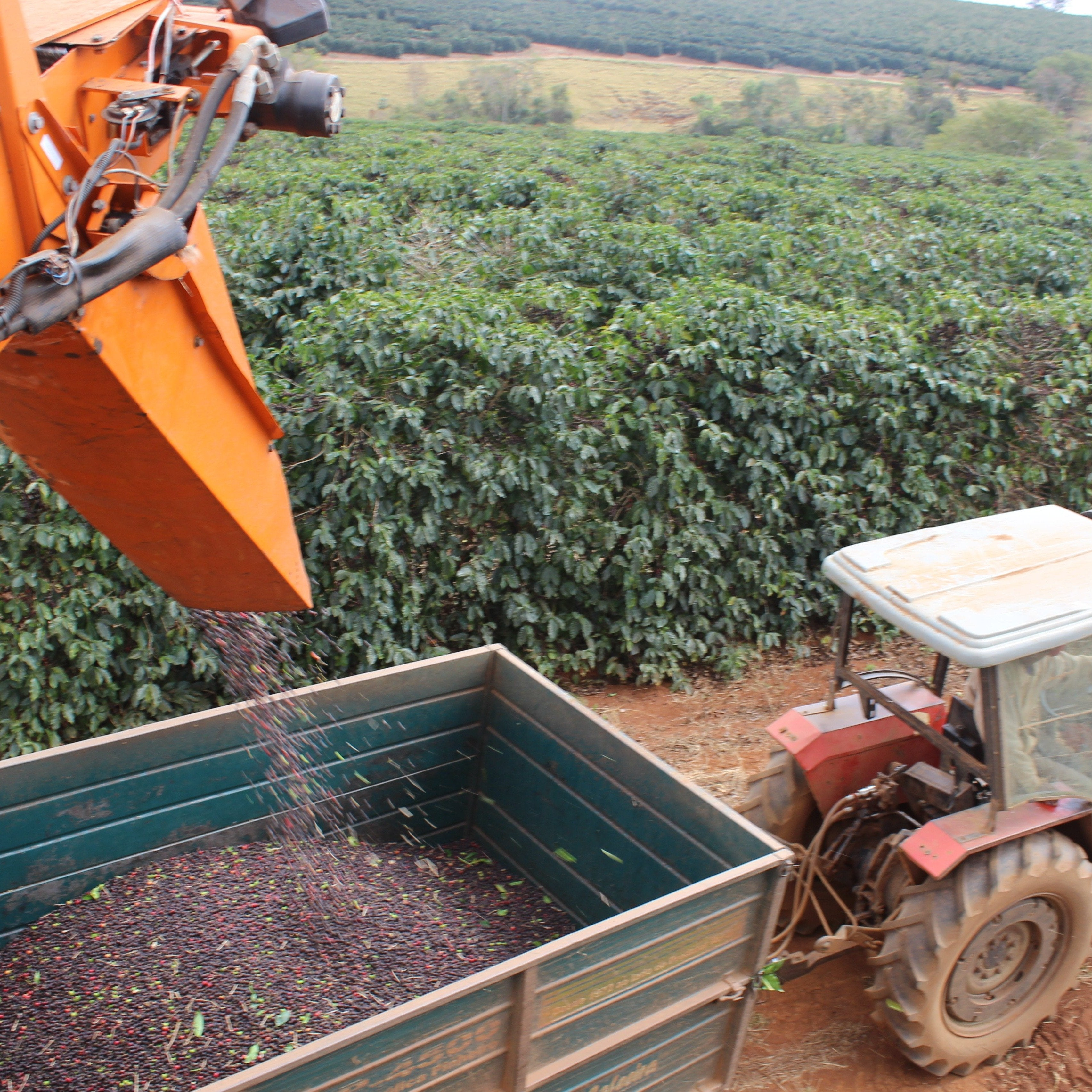 coffee fruit being harvested by machine in Brazil