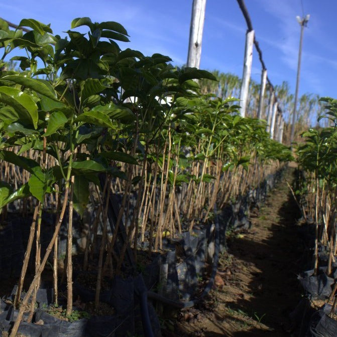 caturra coffee trees ready to be transplanted in brazil