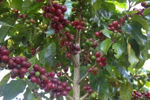 coffee cherries ripening on the tree.