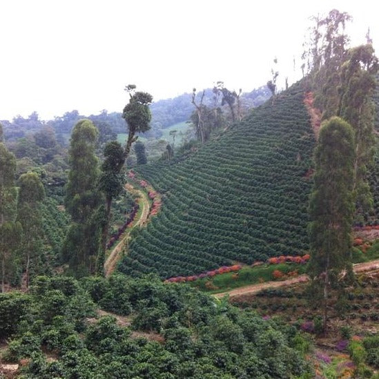 View of coffee trees growing on Los Placeres coffee farm in Matagalpa, Nicaragua.