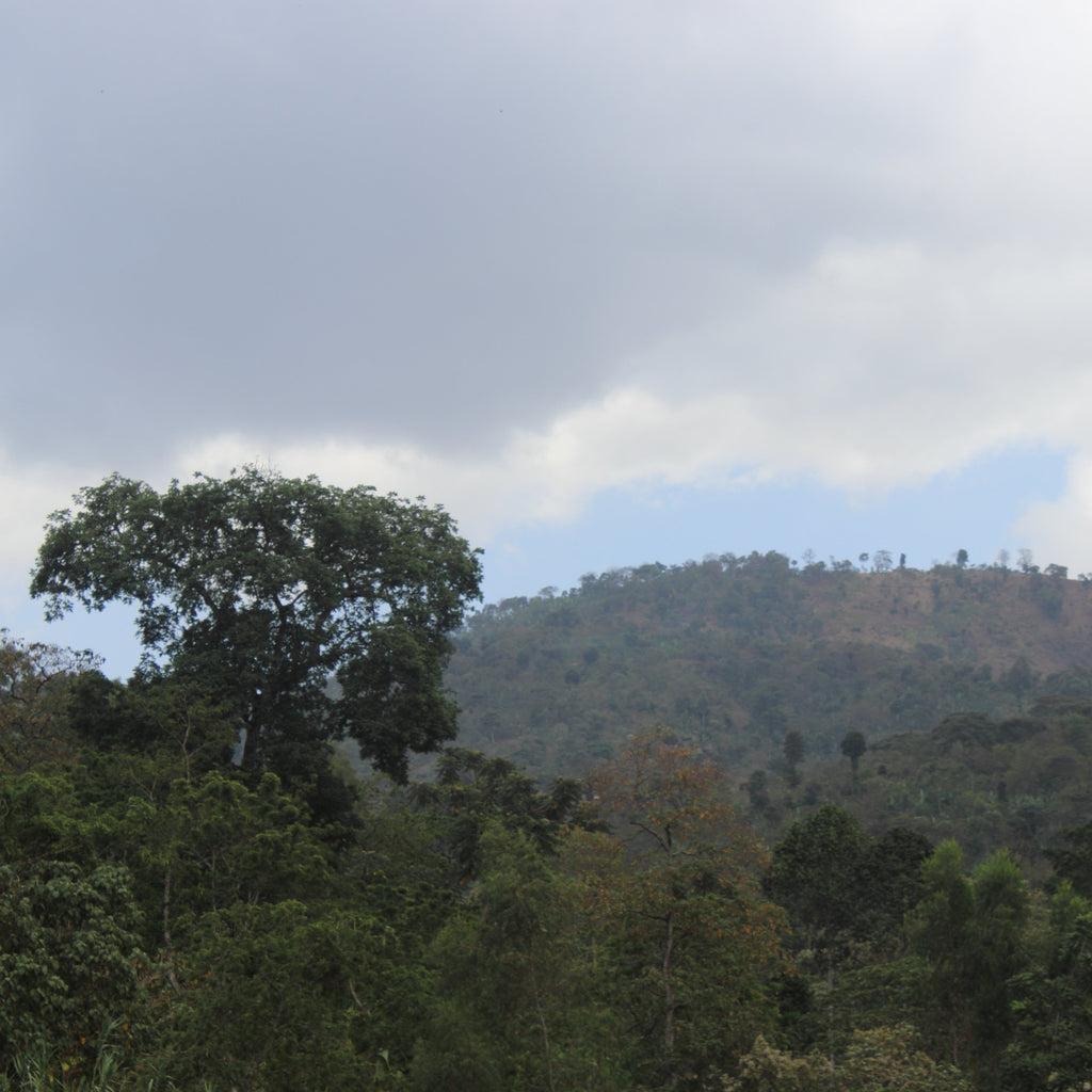 ethiopia coffee farm in yirgacheffe region, which was the first in ethiopia to install stations for washed coffee