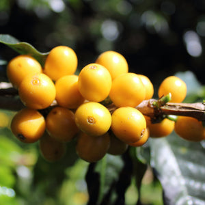 raw coffee ready to be harvested before roasting