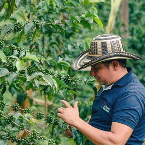 colombia coffee farmer inspecting coffee beans as they grow