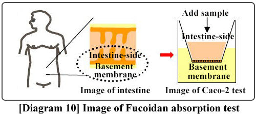Fucoidan absorption test