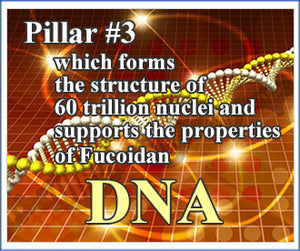 Forms the structure of 60 trillion nuclei and supports the properties of Fucoidan