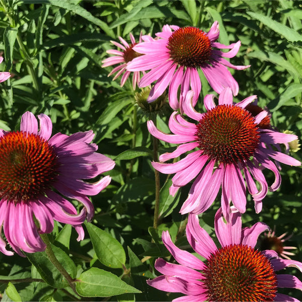 Hilma ingredient: Echinacea