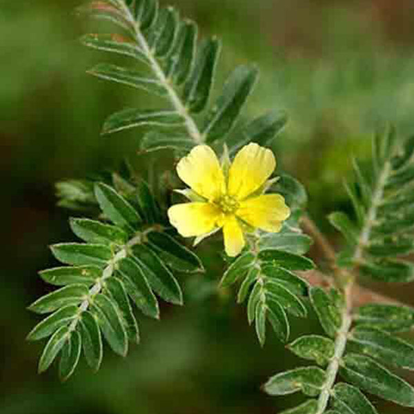 15 things you should  know about Tribulus