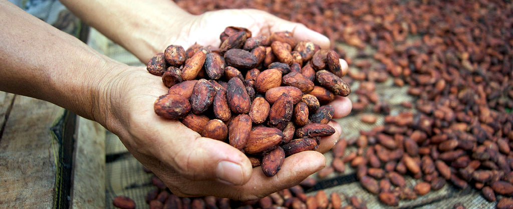 Cacao beans in hands