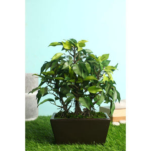 Pollination Premium Artificial Green Ficus Bonsai with Brown Ceramic Pot