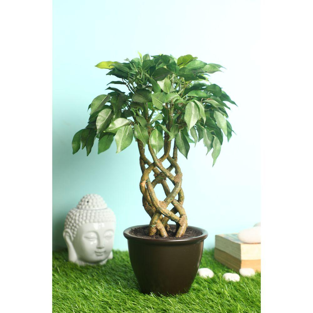 Pollination Stunning Artificial Variegated Ficus Bonsai with Brown Ceramic Pot