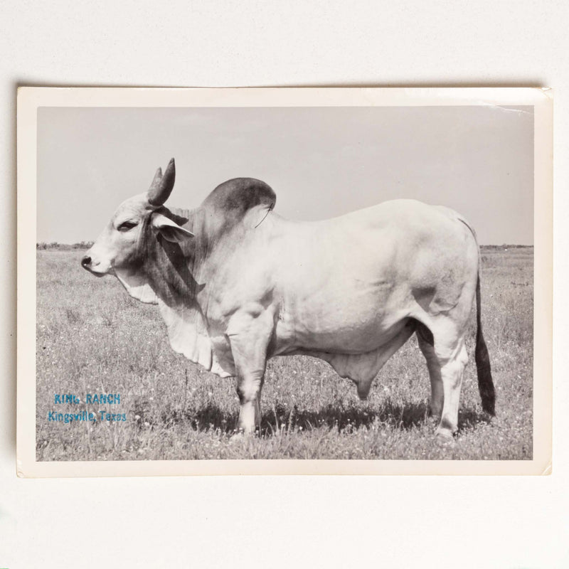 Photo of White Brahman Bull, King Ranch,Texas