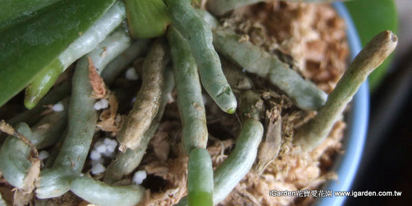 Video Tutorial  Fertilizacion de Orquideas Phalaenopsis