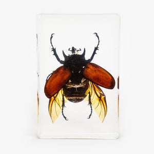 Large Rhinoceros Beetle Resin Paperweight