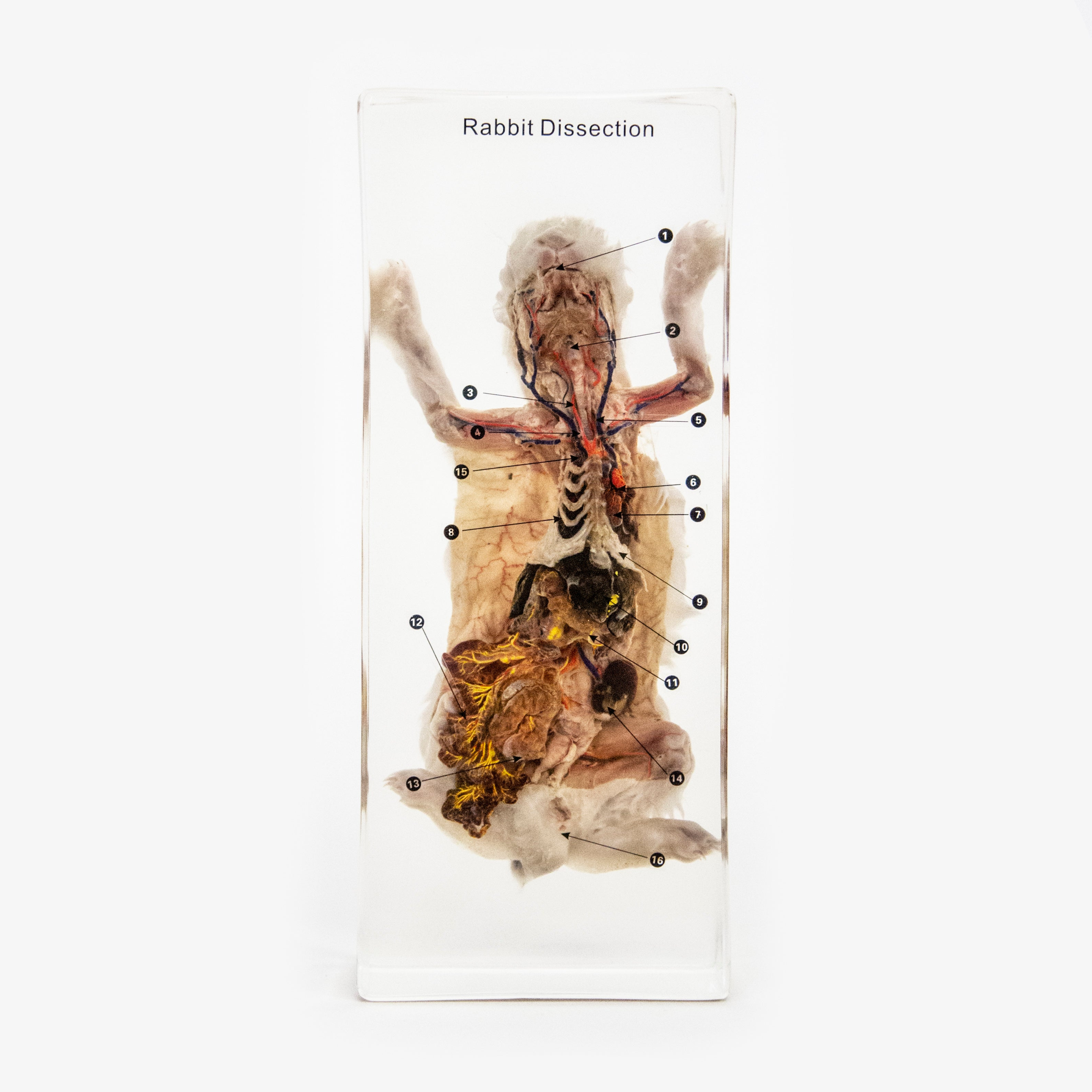 Rabbit Dissection Resin Anatomical Model