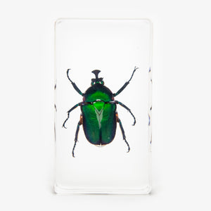 Green Chafer Beetle Resin Paperweight