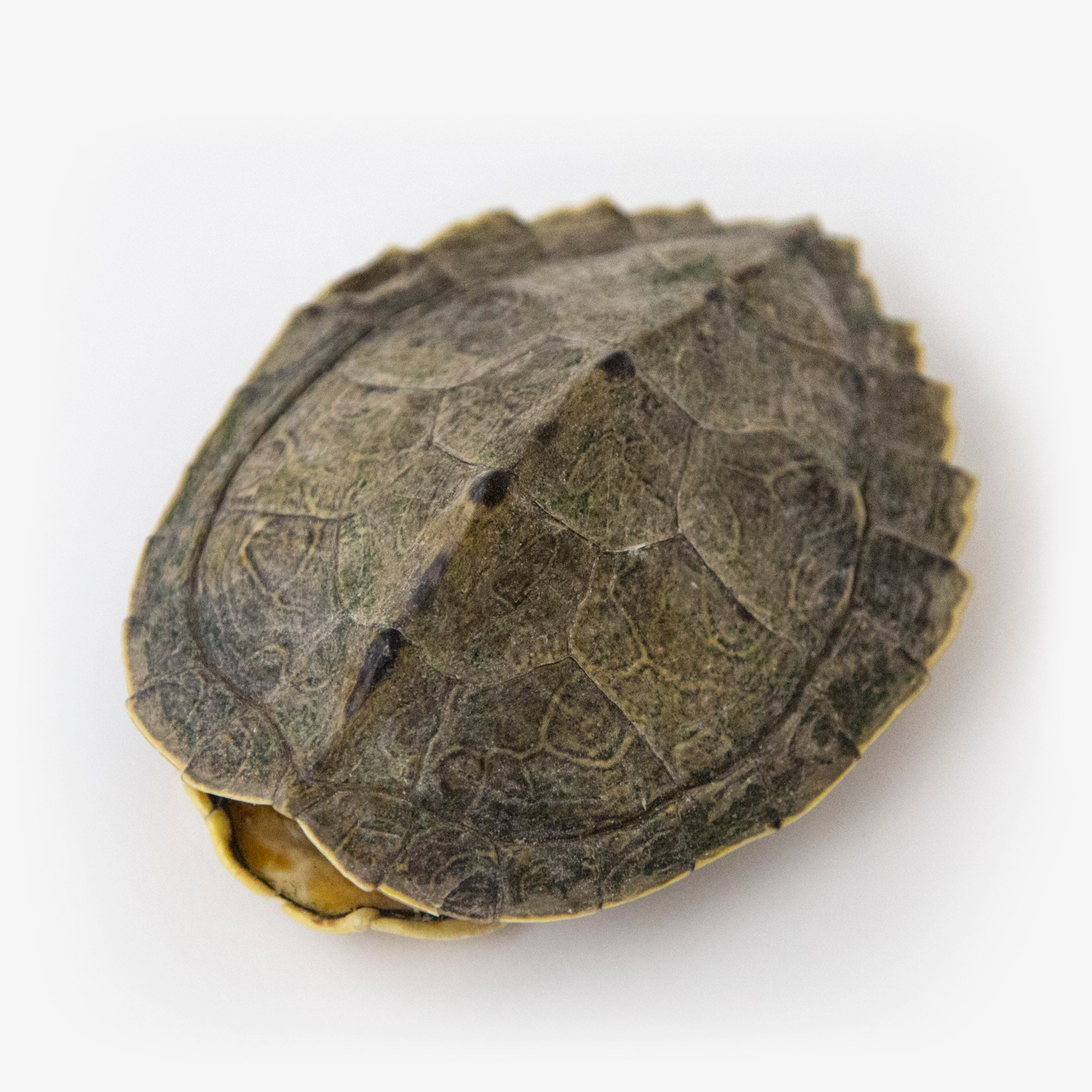 Small Map Turtle Shell