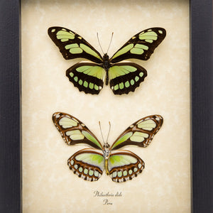 Scarce Bamboo Page Butterfly (Verso & Recto)