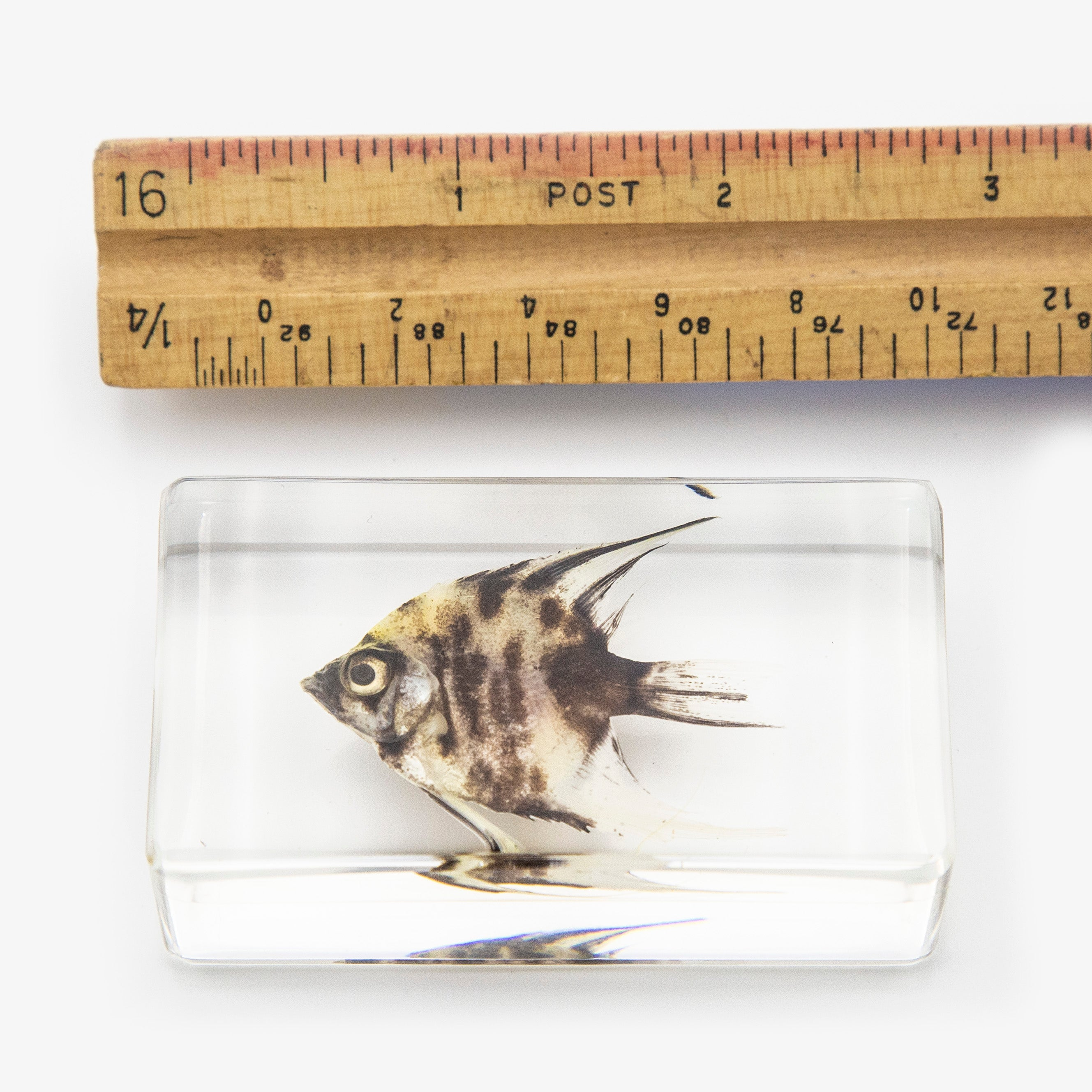 Angel Fish Resin Paperweight