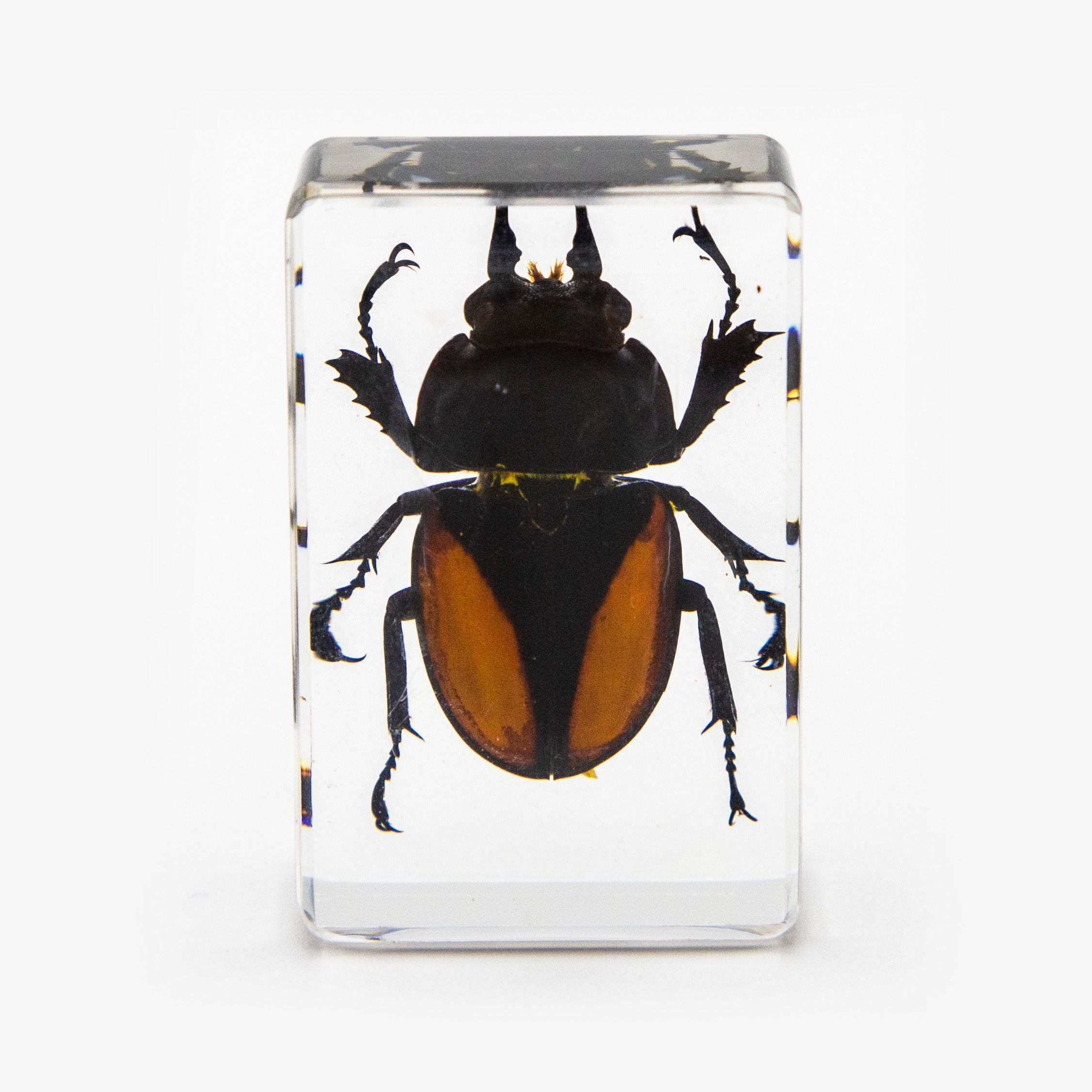Orange Stag Beetle Resin Paperweight (Small)