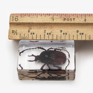 Antler Horned Beetle Resin Paperweight (Small)