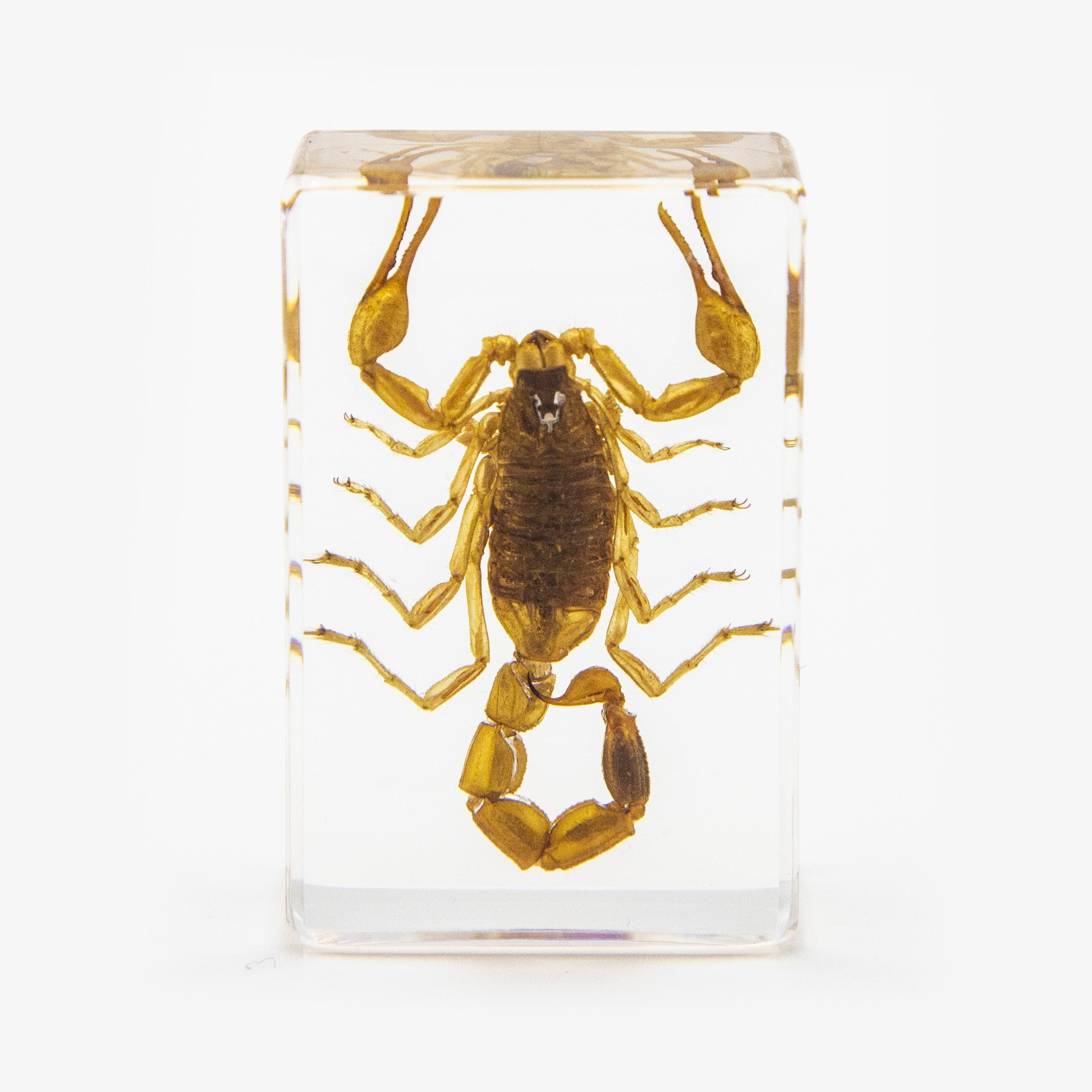 Golden Scorpion Resin Paperweight (Small)
