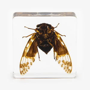 Flying Cicada Resin Paperweight (Small)