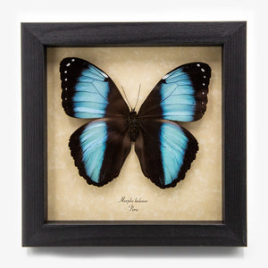 Banded Blue Morpho Butterfly