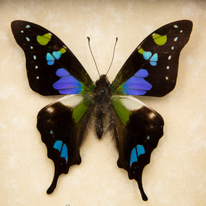 Purple Spotted Swallowtail Butterfly