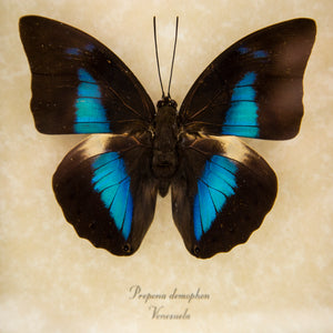 Giant Blue Reflector Butterfly Trio