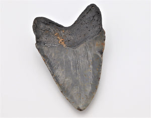 Authentic Megalodon Shark Tooth Fossil