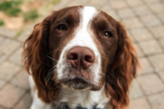spaniel looking in to the camera