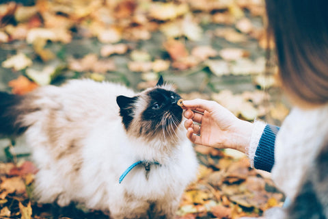 Owner feeding treat to a cat