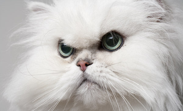 White cat looking evil