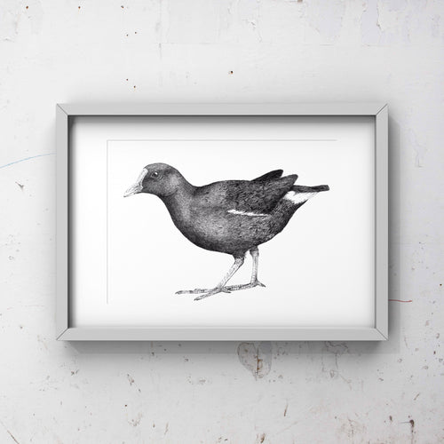 Moorhen Limited edition print