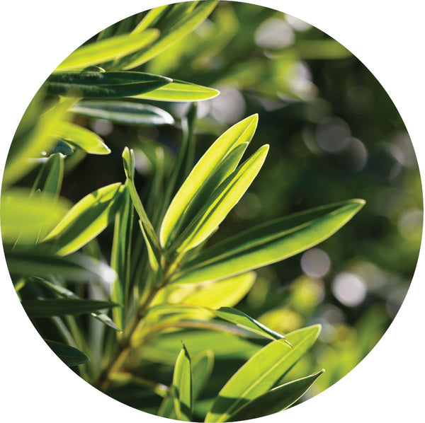 TEA TREE ESSENTIAL OIL - LOSHEN & CREM