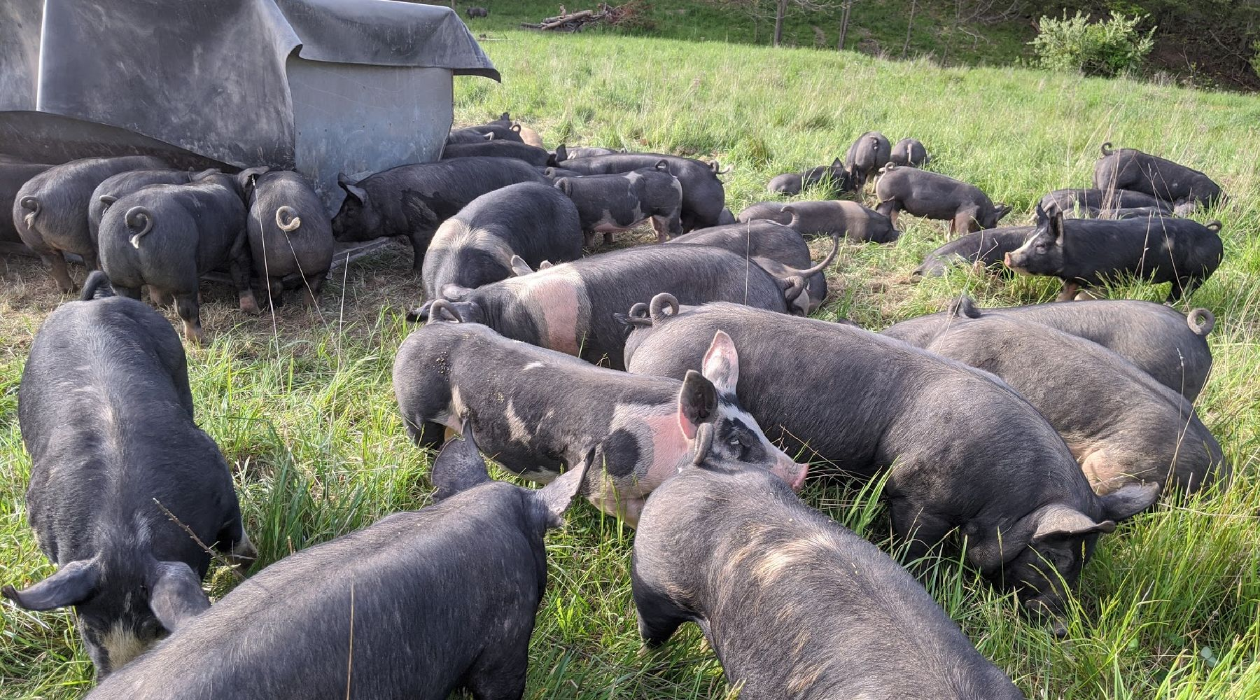 Swine Biosecurity