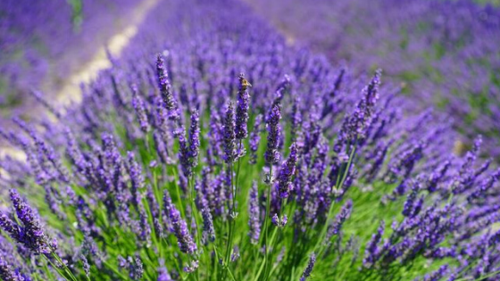 Lavender | Fill Your Home with Love & Purification