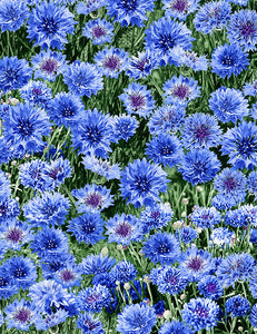 Freedom Farm - Blue Cornflower