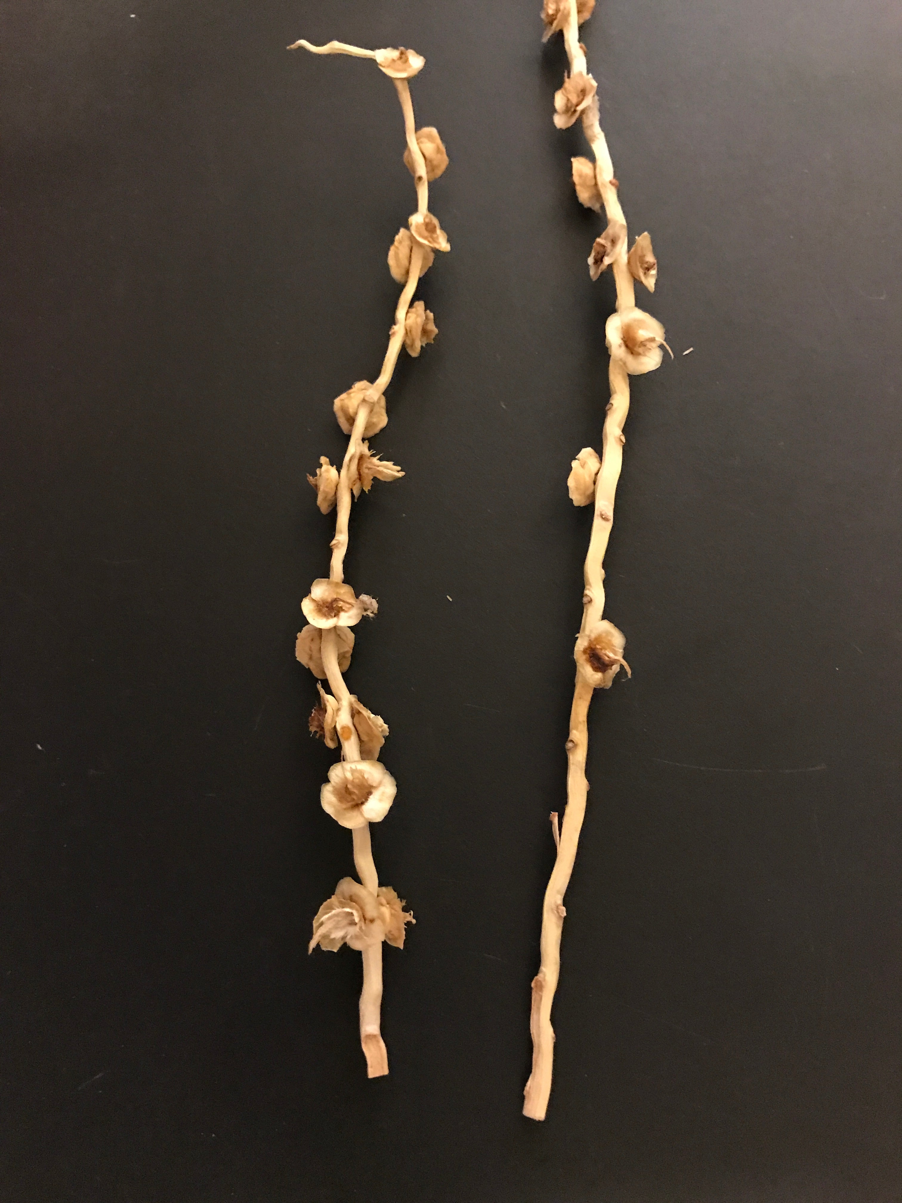 Unique Date-Palm Twig Earrings. Funky Fruits Collection