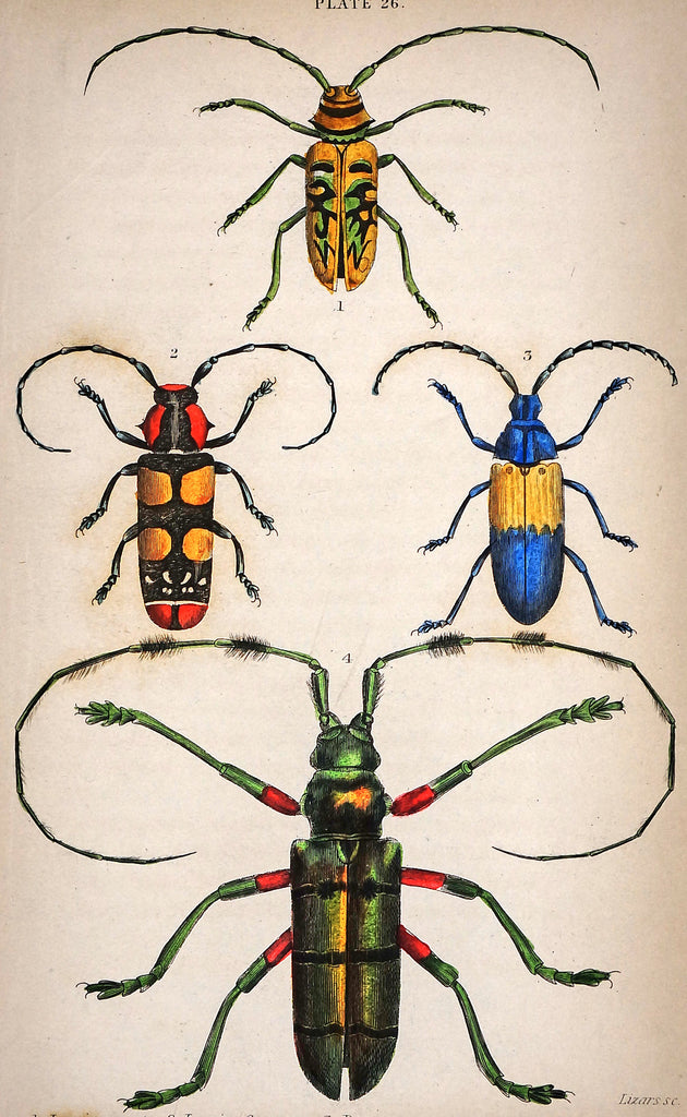 Lamia Longhorn Beetles, Hand Colored Engraving (1835) - Original and Authentic Vintage Poster