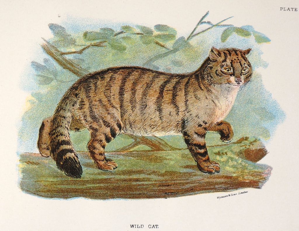 Wild Cat Antique Chromolithograph (1896) - Authentic Vintage Posters