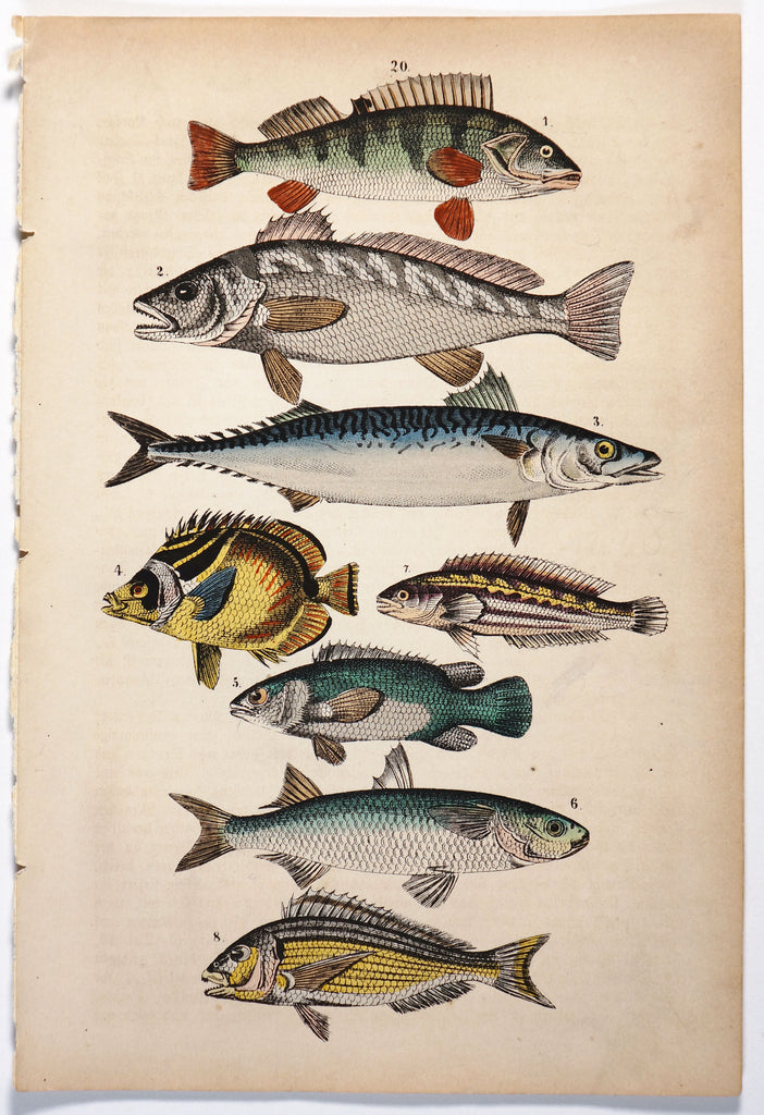 Perch, Mackerel & Butterfly Fish Hand colored Engraving (1869)