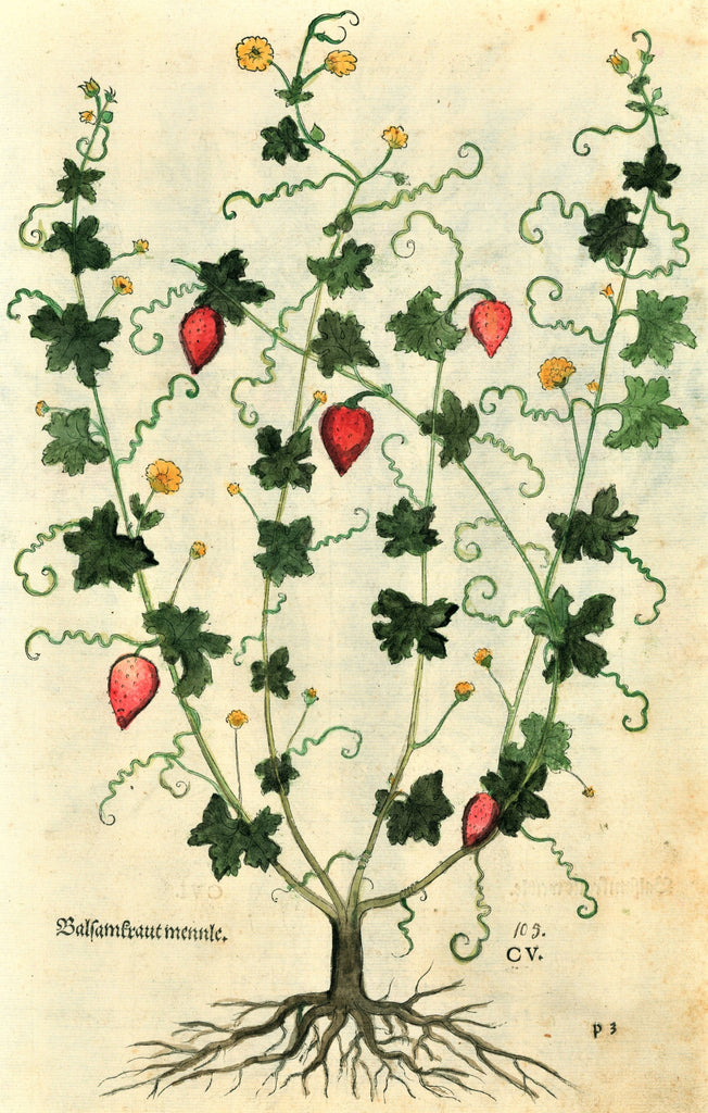 Calamint & Balsam Apple Plants - Antique Print (1543)