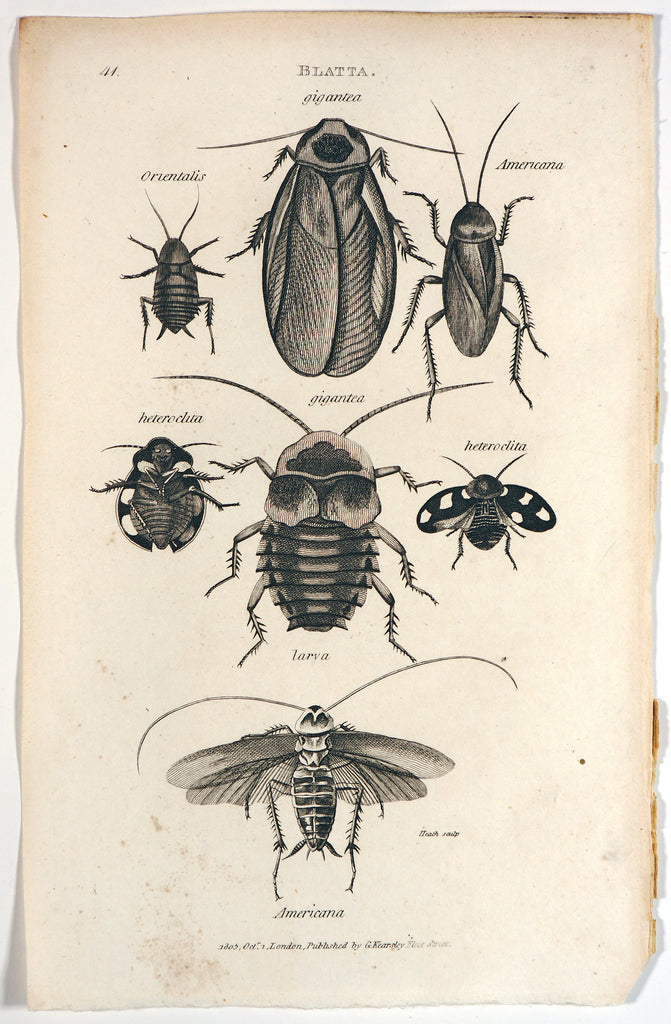 Beetles, Antique Engraving (1805) - Original and Authentic Vintage Poster