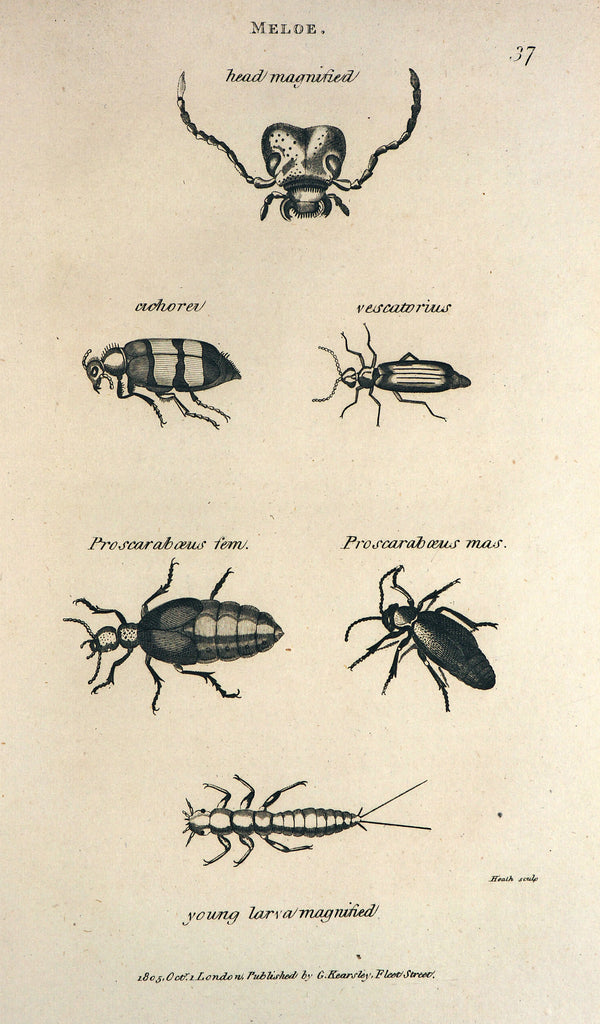 Oil Beetles, Meloe (1805) - Original and Authentic Vintage Poster