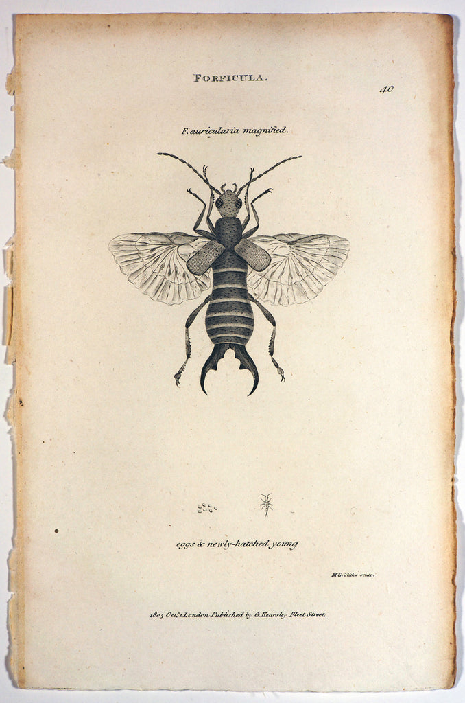 Forficula Auricularia, Earwig Antique Engraving (1805) - Original and Authentic Vintage Poster