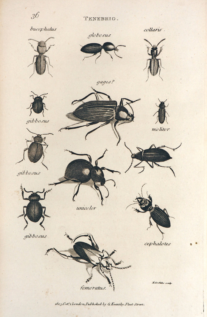 Darkling Beetles, Tenebrio (1805) - Original and Authentic Vintage Poster