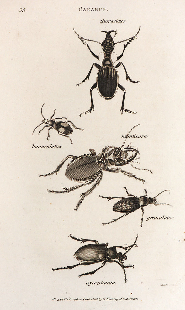 Carabus Beetle (1805) - Original and Authentic Vintage Poster