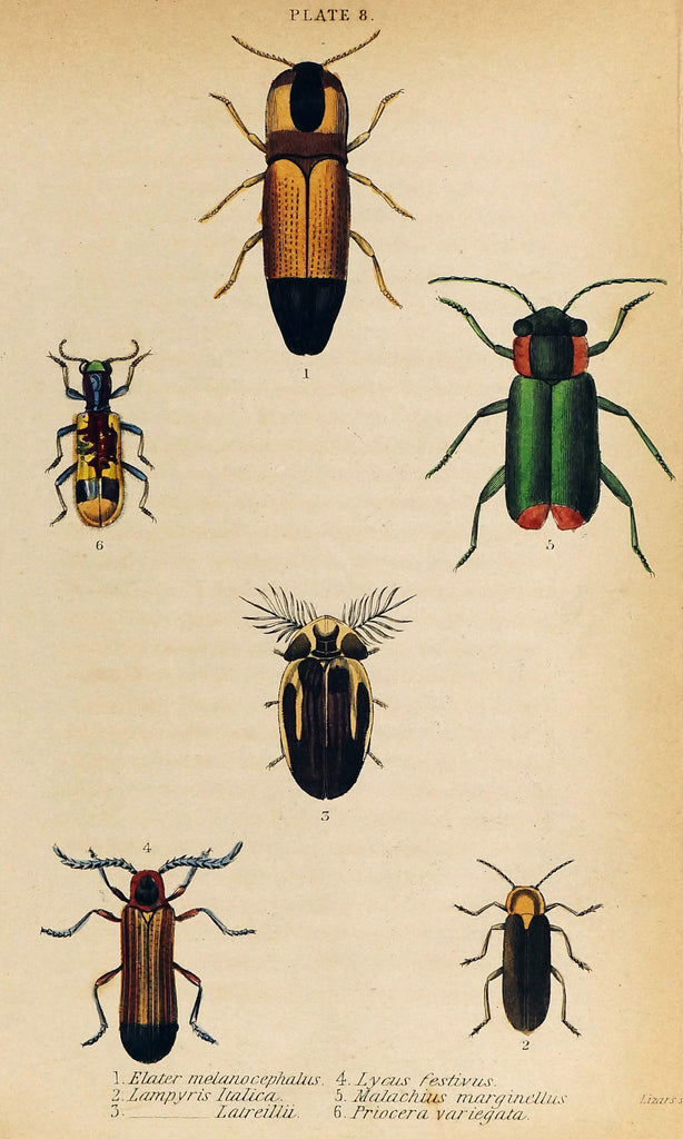 Firefly Beetles, Coleoptera, Hand-Colored Antique Print (1835) - Original and Authentic Vintage Poster
